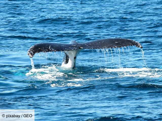 Le souffle d'une baleine analysé grâce à un drone