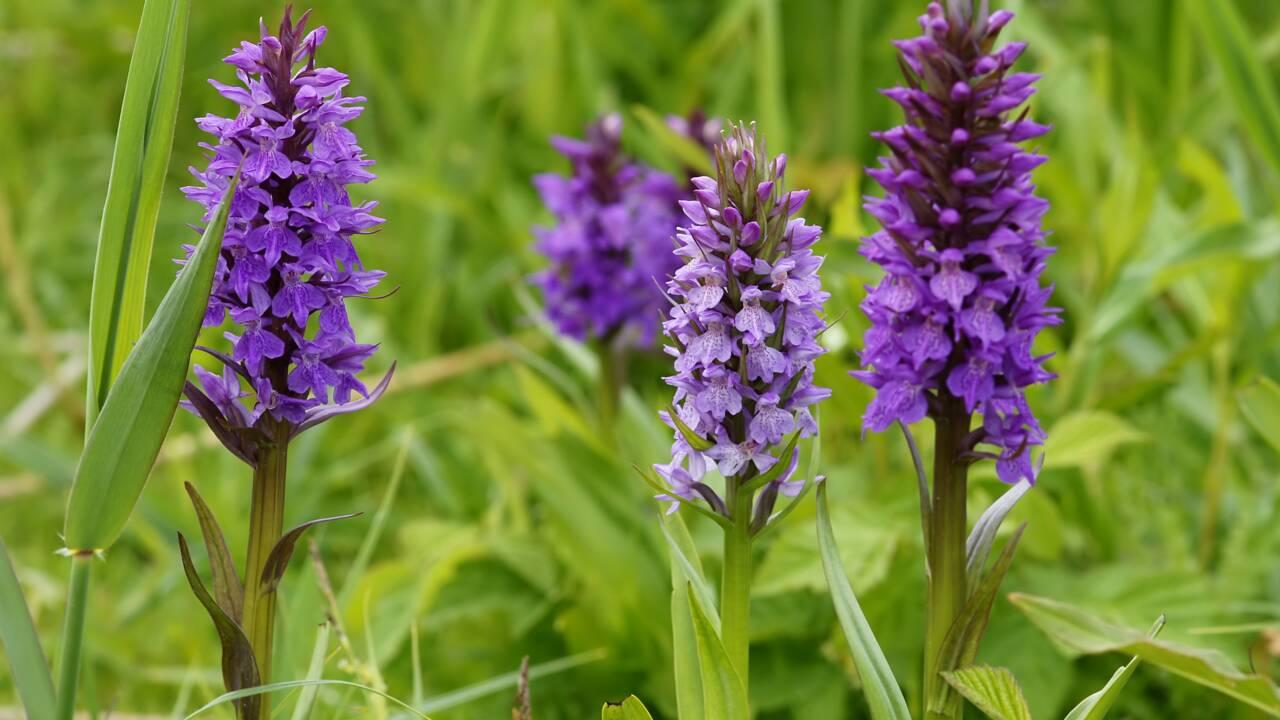 Au Royaume-Uni, les fleurs sauvages remontent vers le nord à cause du changement climatique