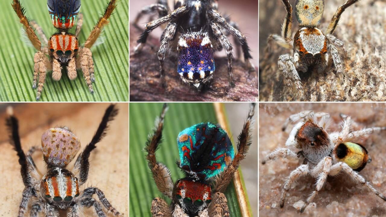 Sept nouvelles espèces d'araignées paons identifiées en Australie