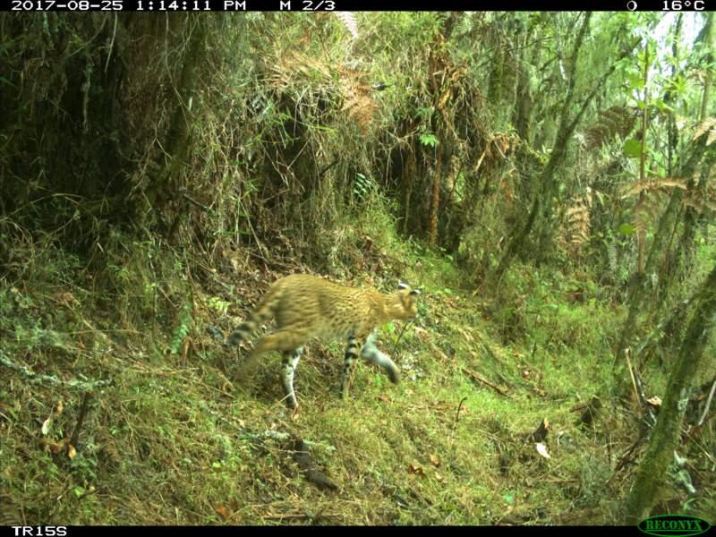 Un serval de passage
