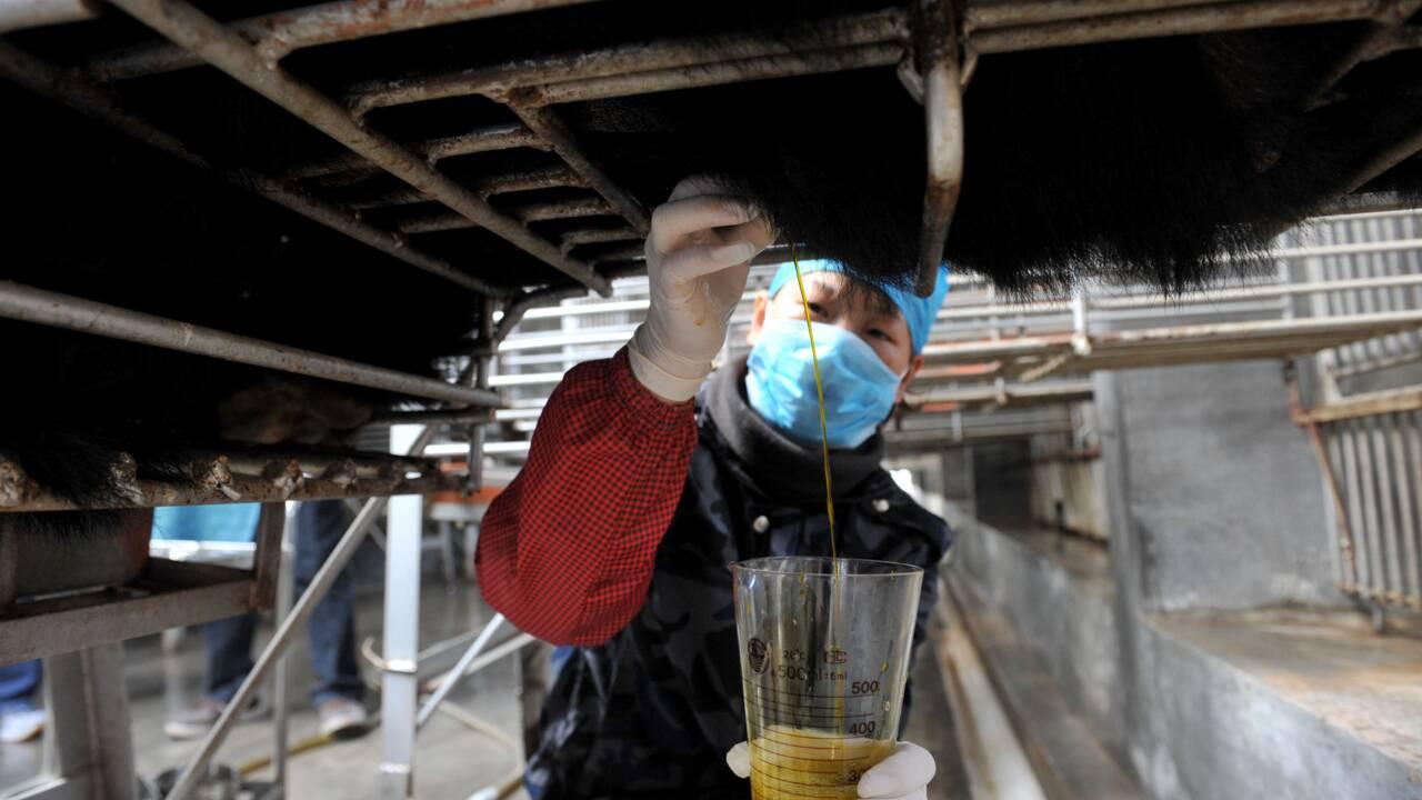 Chine: l'ours et sa bile sacrifiés sur l'autel du coronavirus
