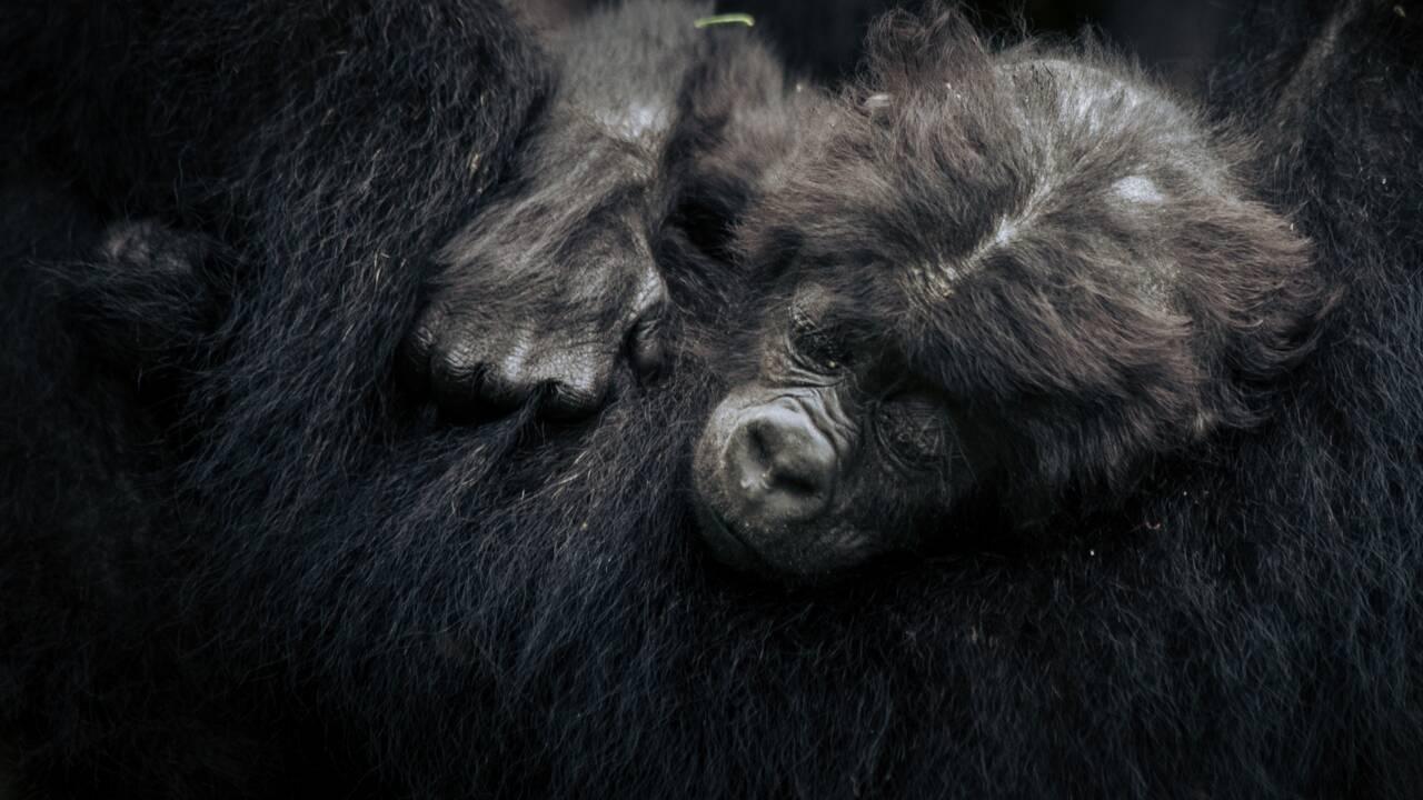 Coronavirus: dans les zoos, gare aux gorilles !