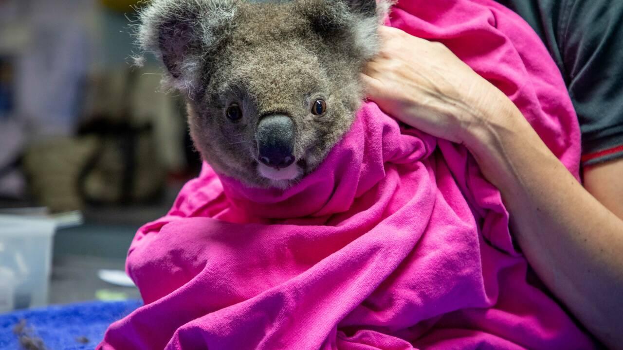 Australie : Les koalas survivants des incendies relâchés