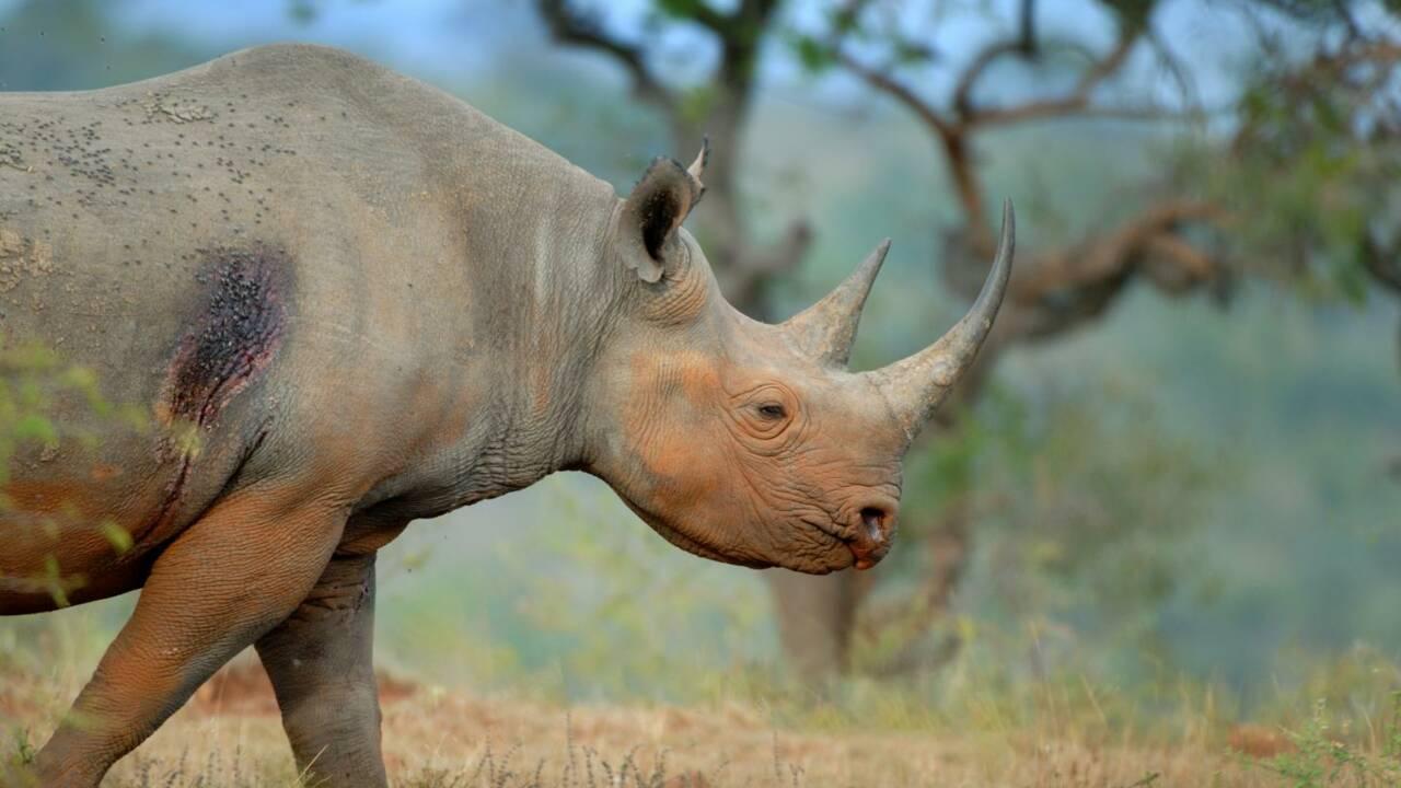 Comment des oiseaux peuvent aider les rhinocéros à éviter les braconniers