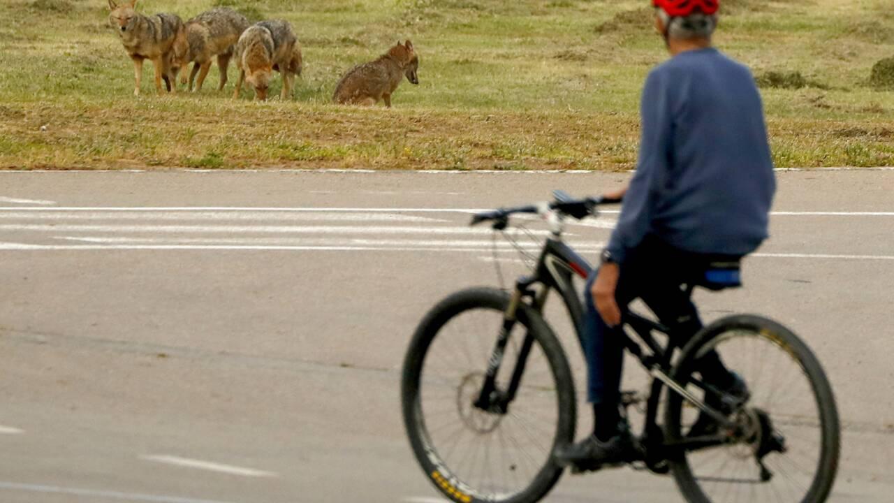 A Tel-Aviv, les chacals investissent un parc déserté par les humains confinés