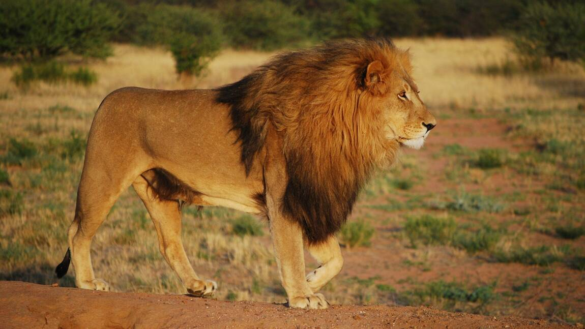 Le coronavirus menace les lions élevés pour le tourisme en Afrique du Sud