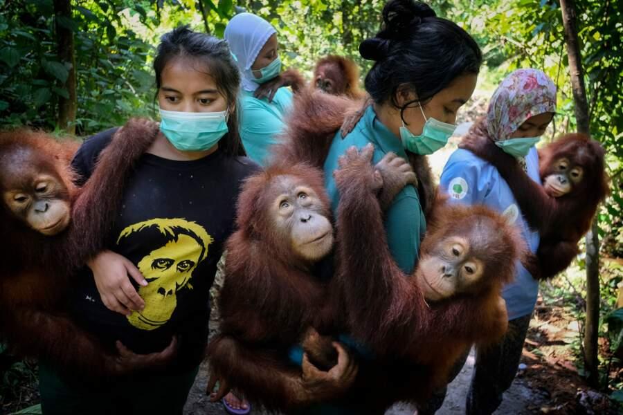 Sauver les orangs-outans