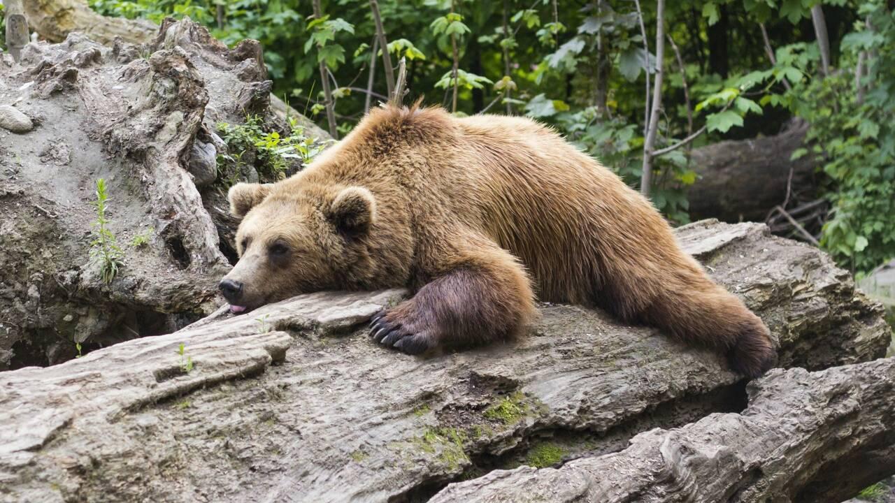 L'ours Cachou serait mort après s'être battu avec un autre mâle