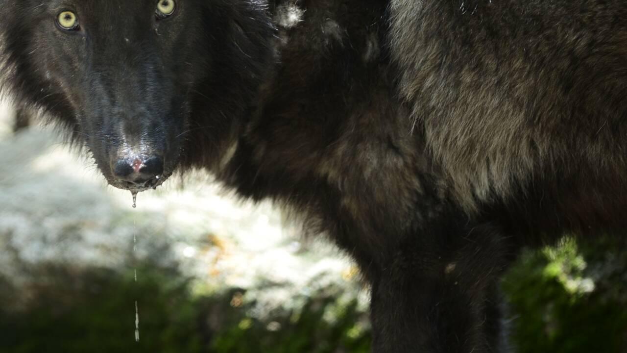 """Un loup gris """"très probablement"""" photographié dans le nord de la France"""