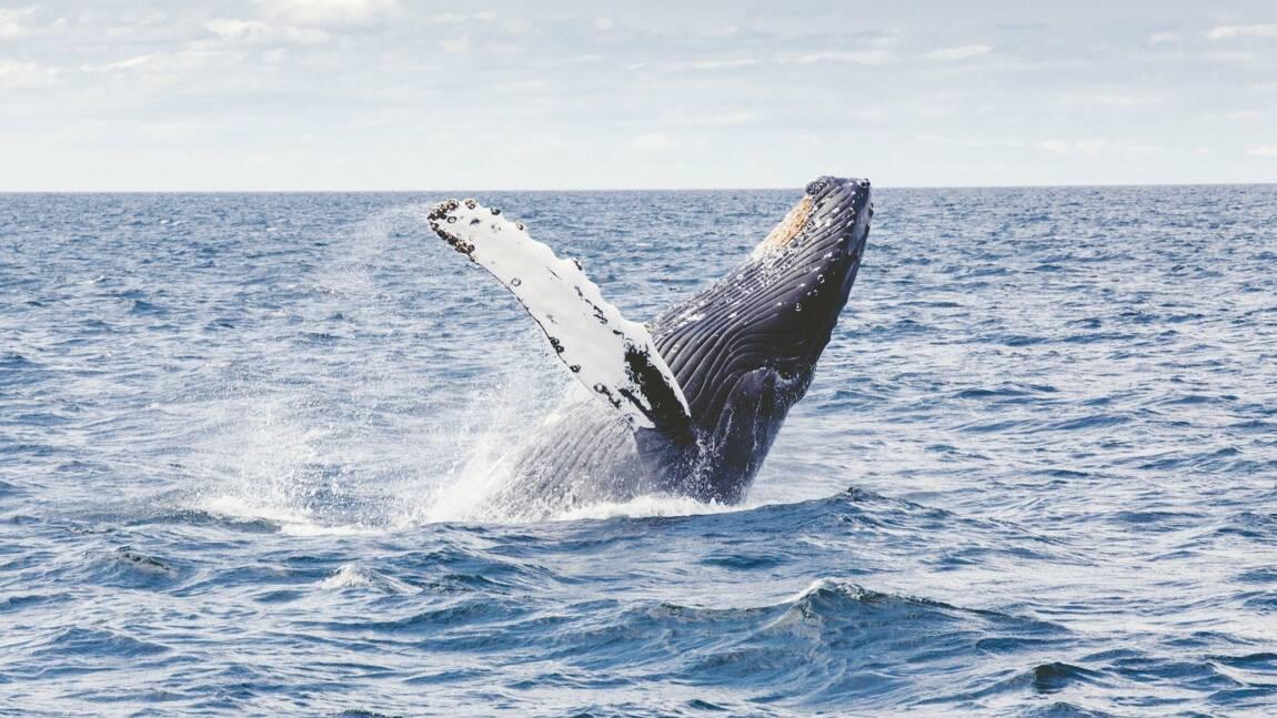 Les grands animaux marins comme les baleines et les requins pourraient disparaître d'ici 100 ans