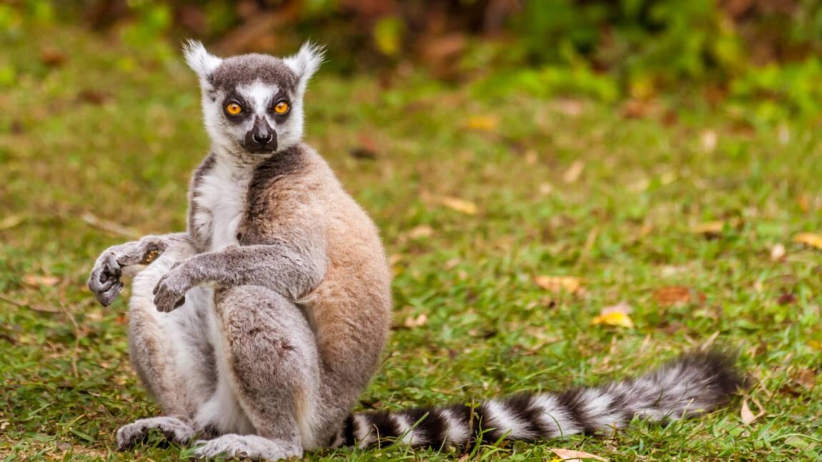 Pour séduire leur partenaire, ces lémuriens miseraient sur un parfum fruité