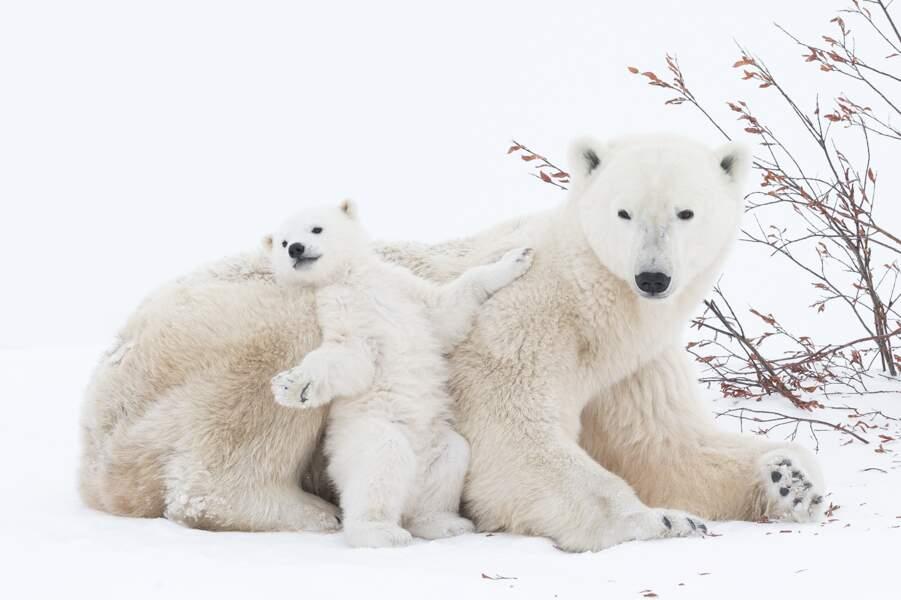 Ours polaire mère avec ses petits au Canada