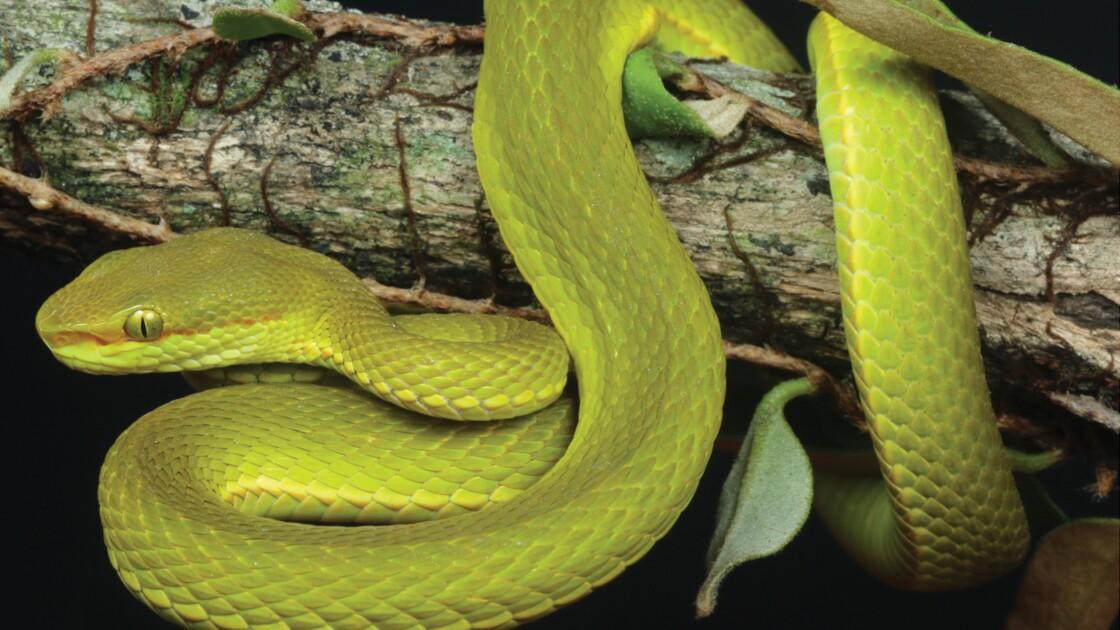 En Inde Une Nouvelle Espece De Serpent Nommee D Apres Un
