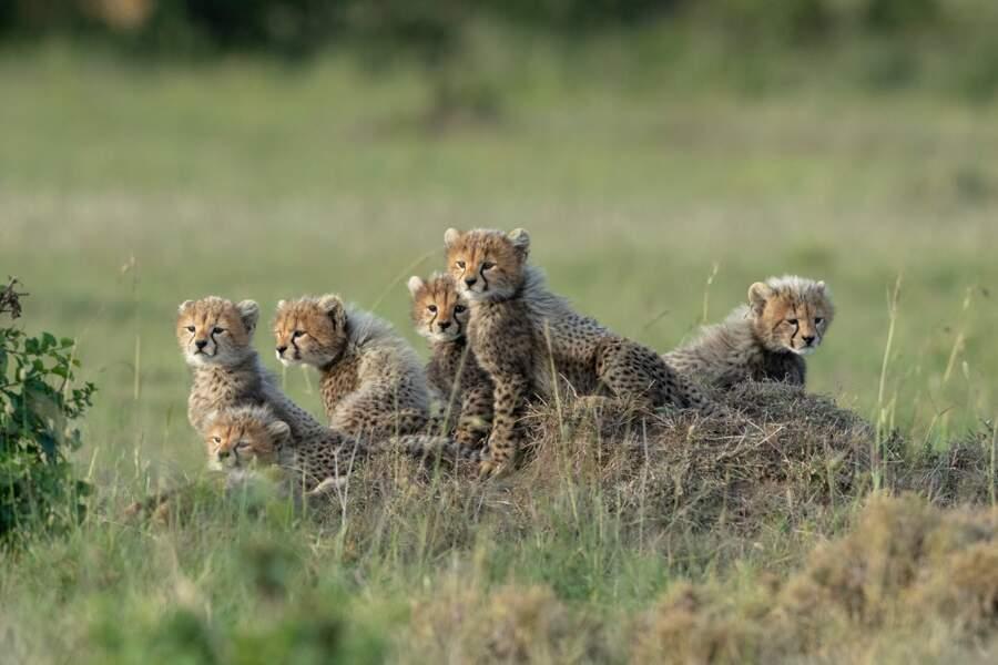 Bébés guépards au Kenya