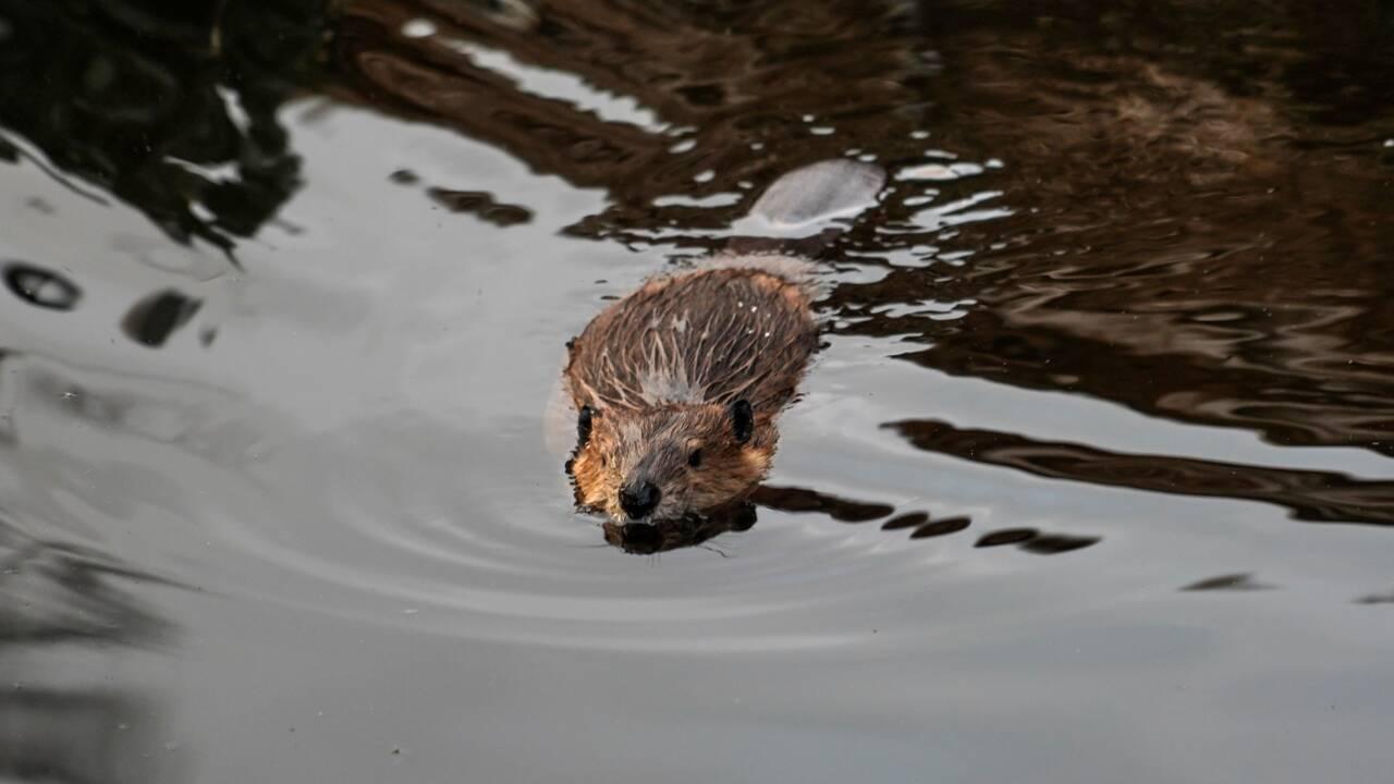 Les castors de retour pour de bon dans une rivière anglaise