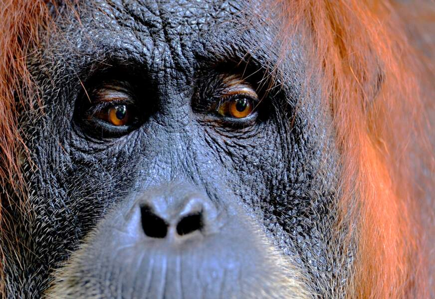 Femelle orang-outan de Sumatra