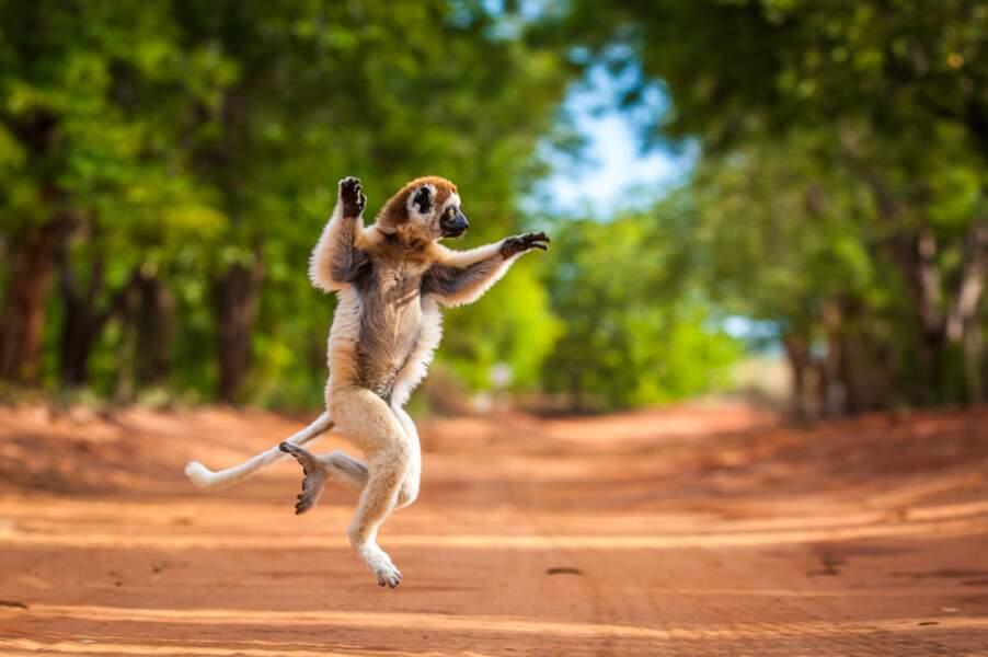 Sifaka de Verreaux à Madagascar