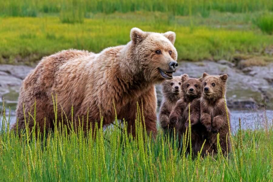 Ours brun, truie et oursons, parc national du lac Clark, Alaska, États-Unis