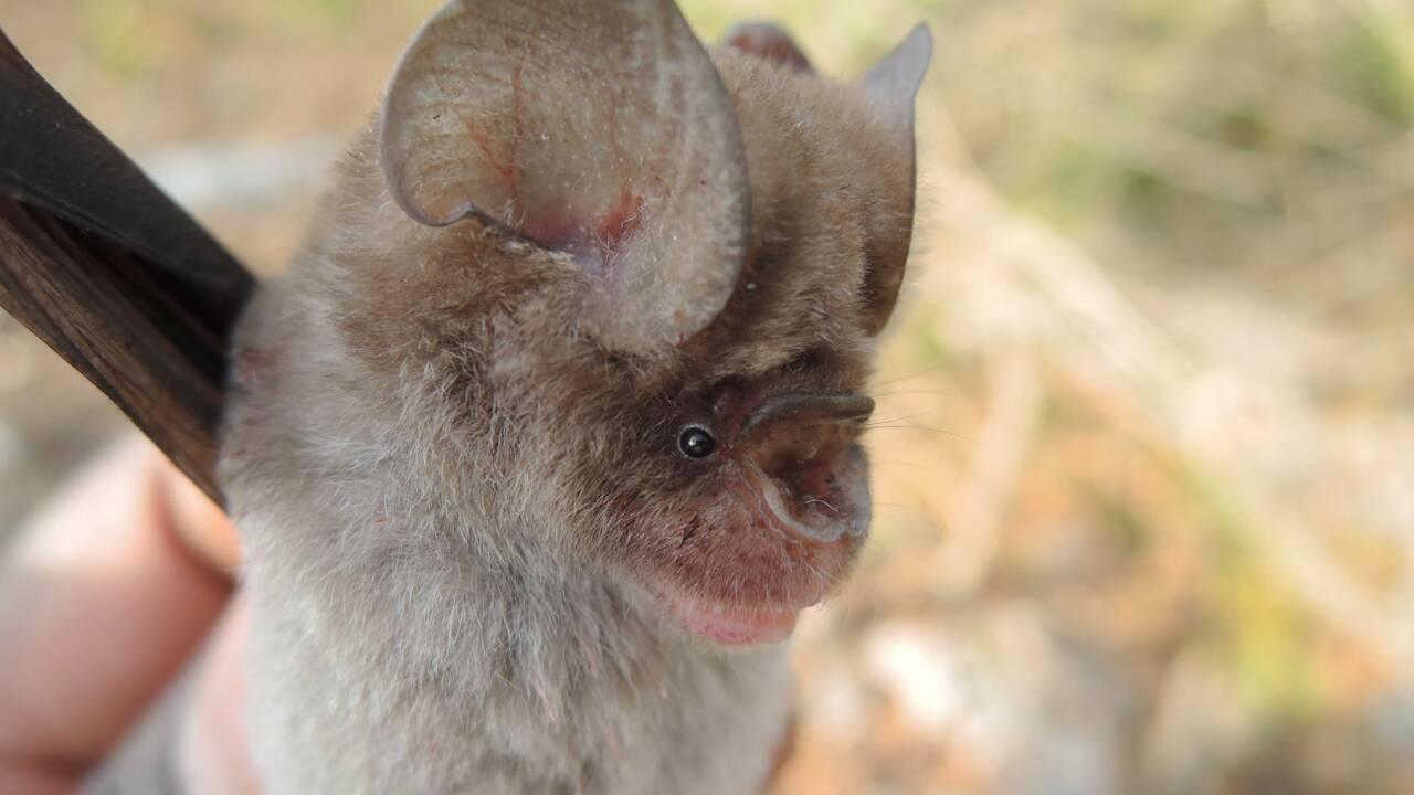 Quatre nouvelles espèces de chauves-souris découvertes en Afrique