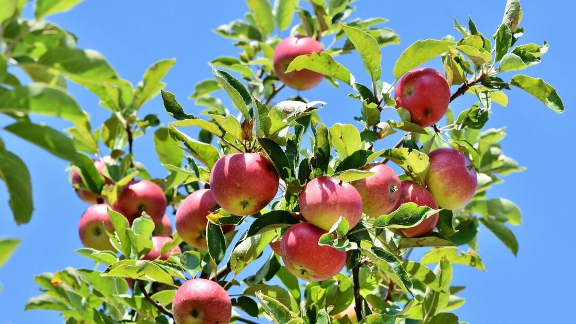 Dix sortes de pommes que l'on croyait éteintes redécouvertes aux Etats-Unis