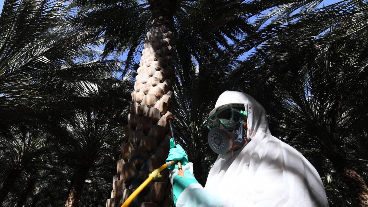 Aux Emirats, la bataille contre l'insecte tueur de palmiers-dattiers