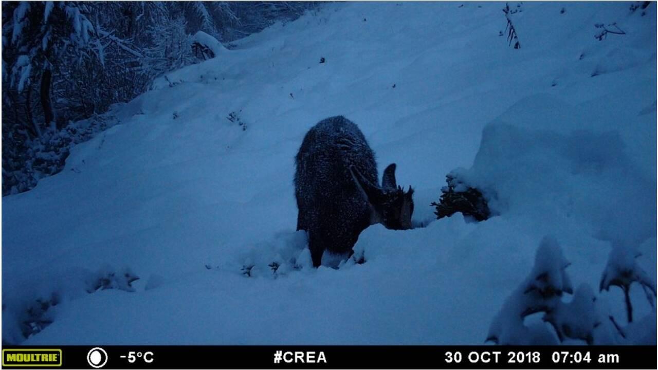 Sur ces images, aidez les scientifiques à identifier les animaux du Mont-Blanc