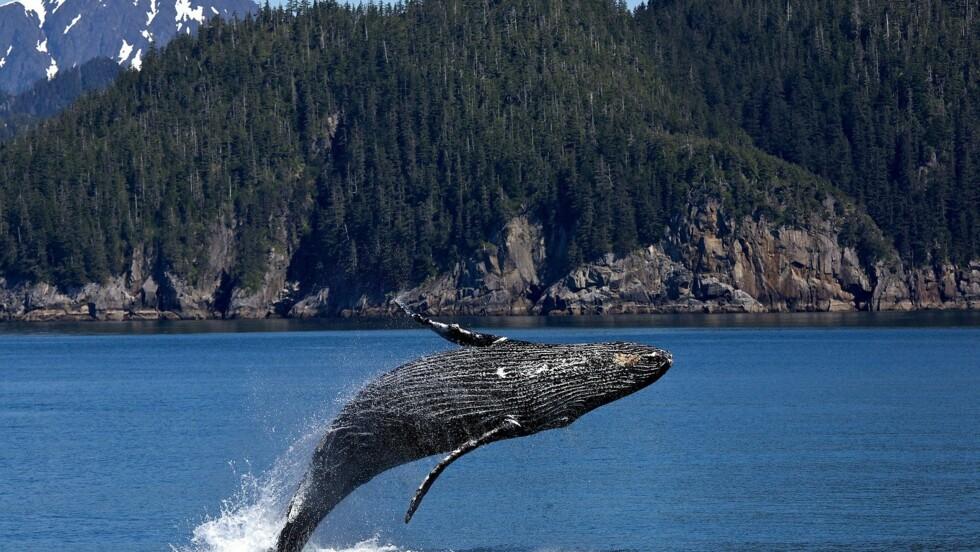 Les baleines profitent des océans en l'absence des bateaux
