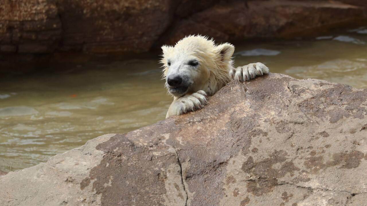 Trois oursons blancs font leurs premiers pas dehors sur la Côte d'Azur