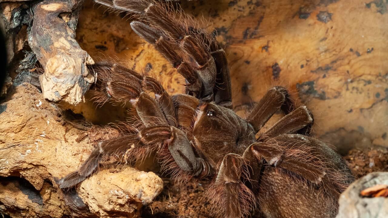 Un zoo néo-zélandais réussit à faire éclore des œufs de la plus grande araignée du monde