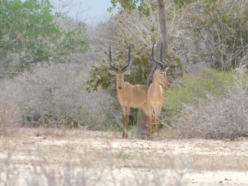 L'antilope hirola au Kenya