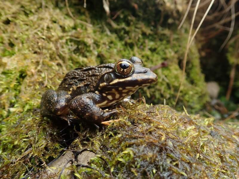 Les amphibiens en Afrique du Sud