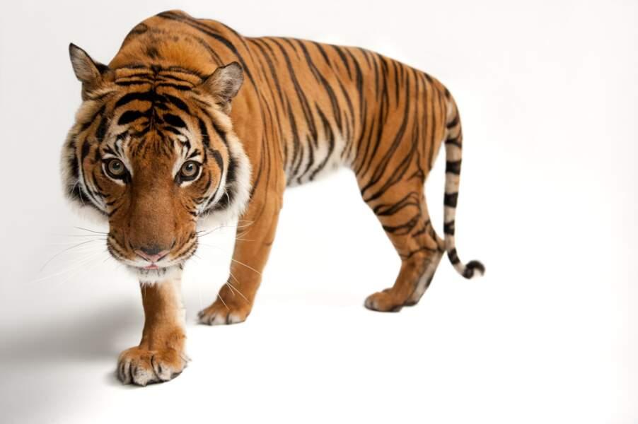 Le tigre de Malaisie