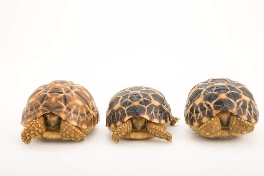 Les tortues étoilées de Birmanie
