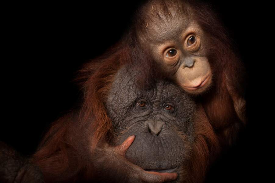 Les orangs-outans de Bornéo