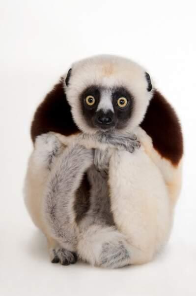 Le lémurien danseur de Madagascar