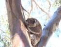 Des scientifiques découvrent que le koala boit grâce aux troncs d'arbres