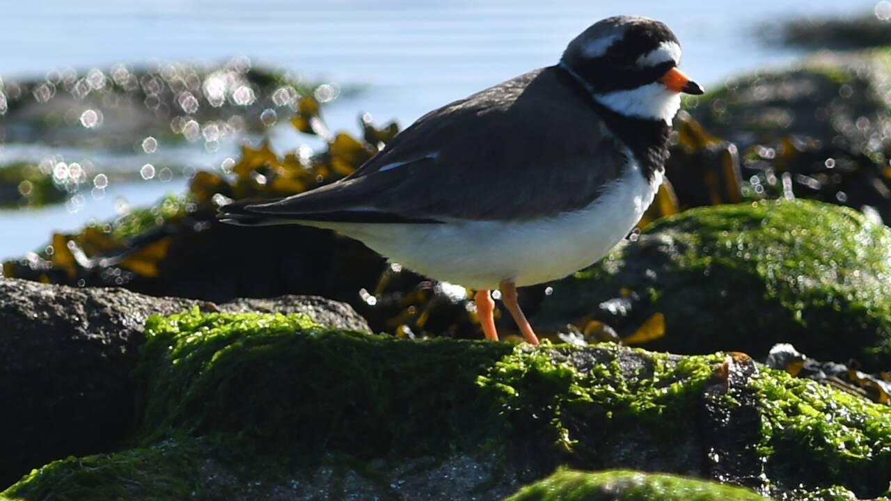 A Crozon, le déconfinement menace les oiseaux du littoral