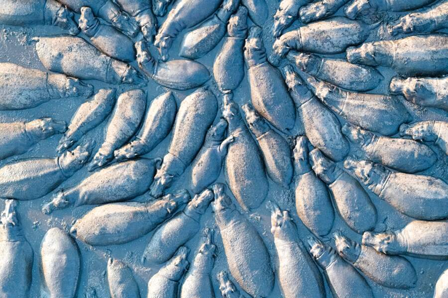Rassemblement d'hippopotames