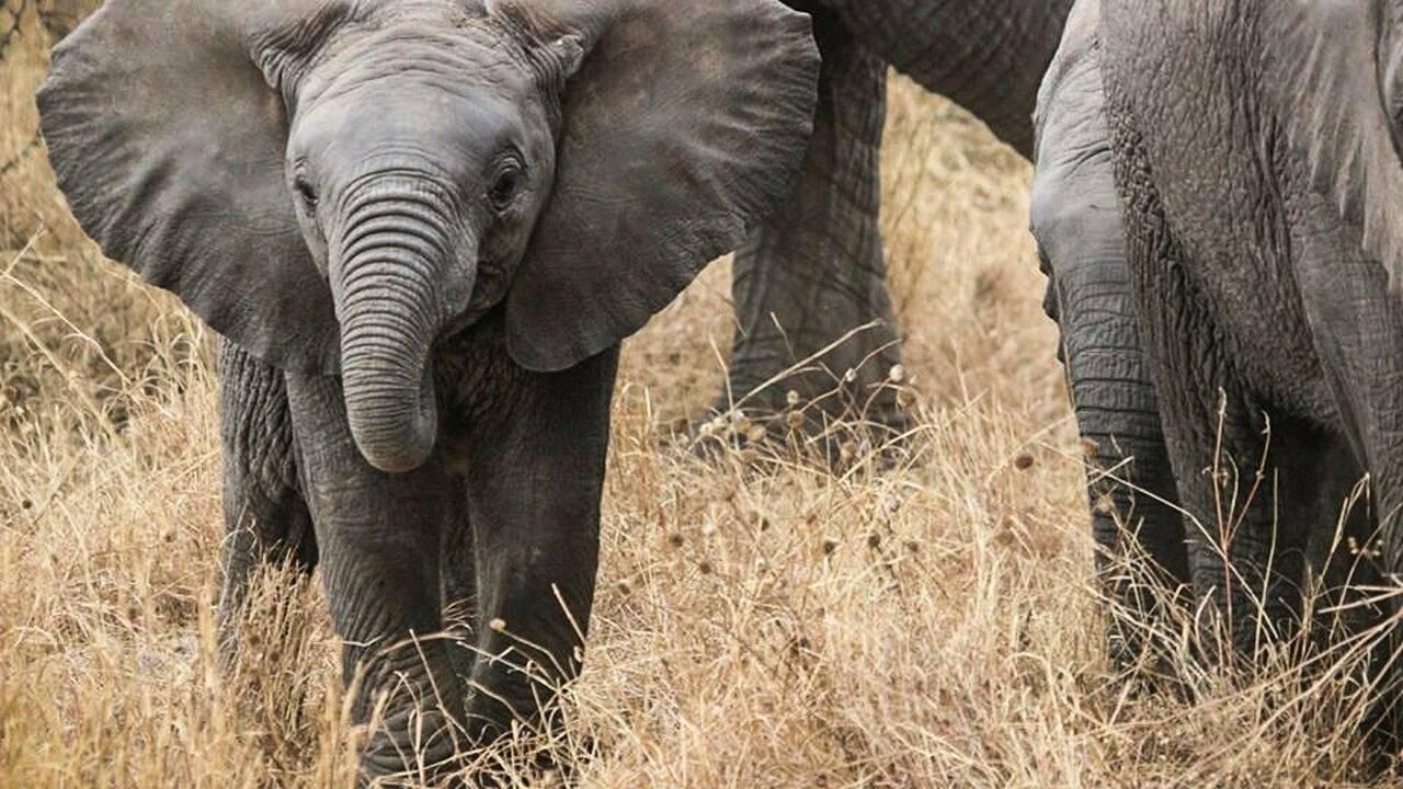 Eléphants sans défenses : comment l'homme a influencé l'évolution des pachydermes