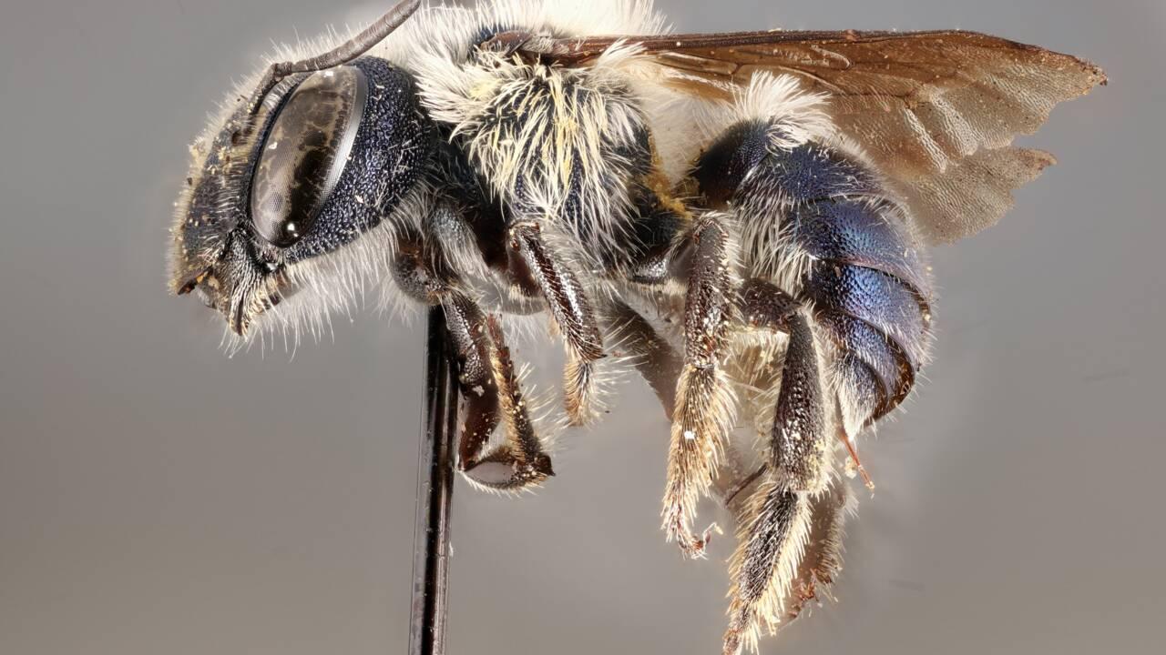 Un chercheur redécouvre une espèce rare d'abeille bleue en Floride