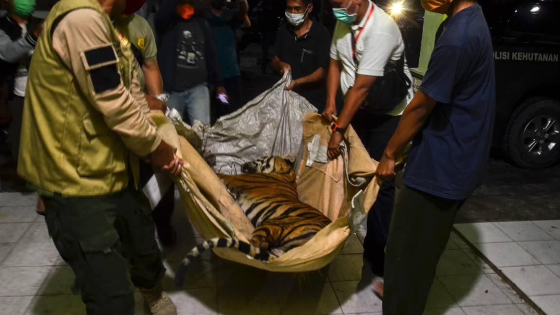 Indonésie: un tigre de Sumatra retrouvé mort, un cas de braconnage suspecté