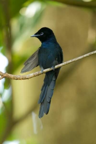 Gode-mouche noir de Paradis
