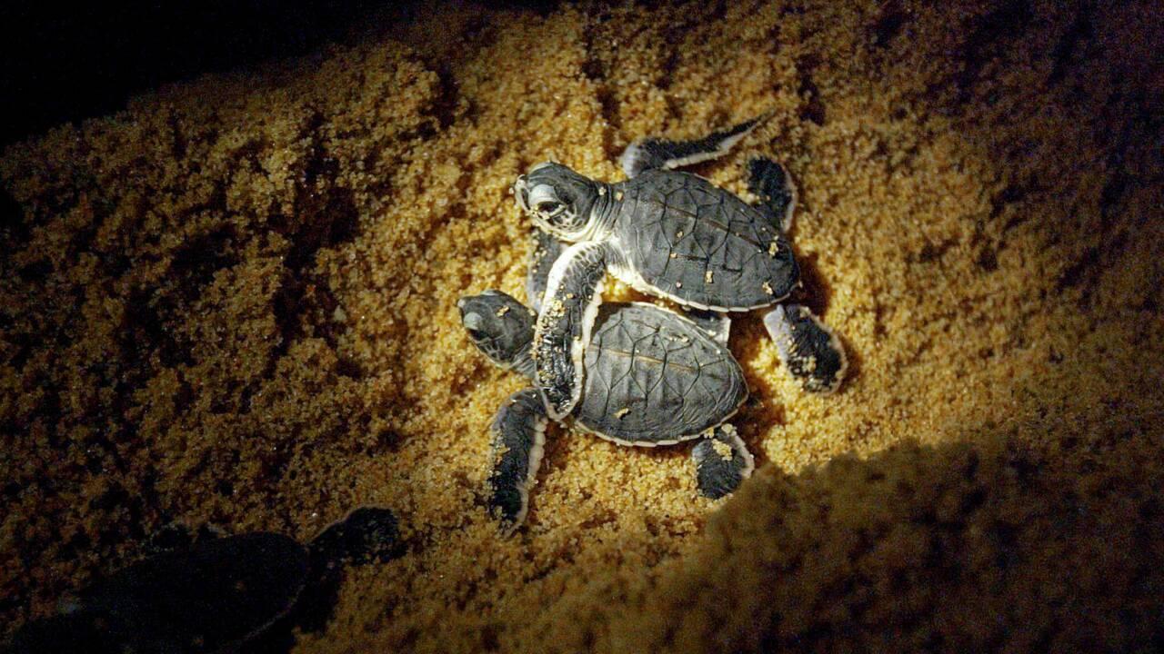 Malaisie : l'Etat de Terengganu va interdire le commerce des œufs de tortue marine