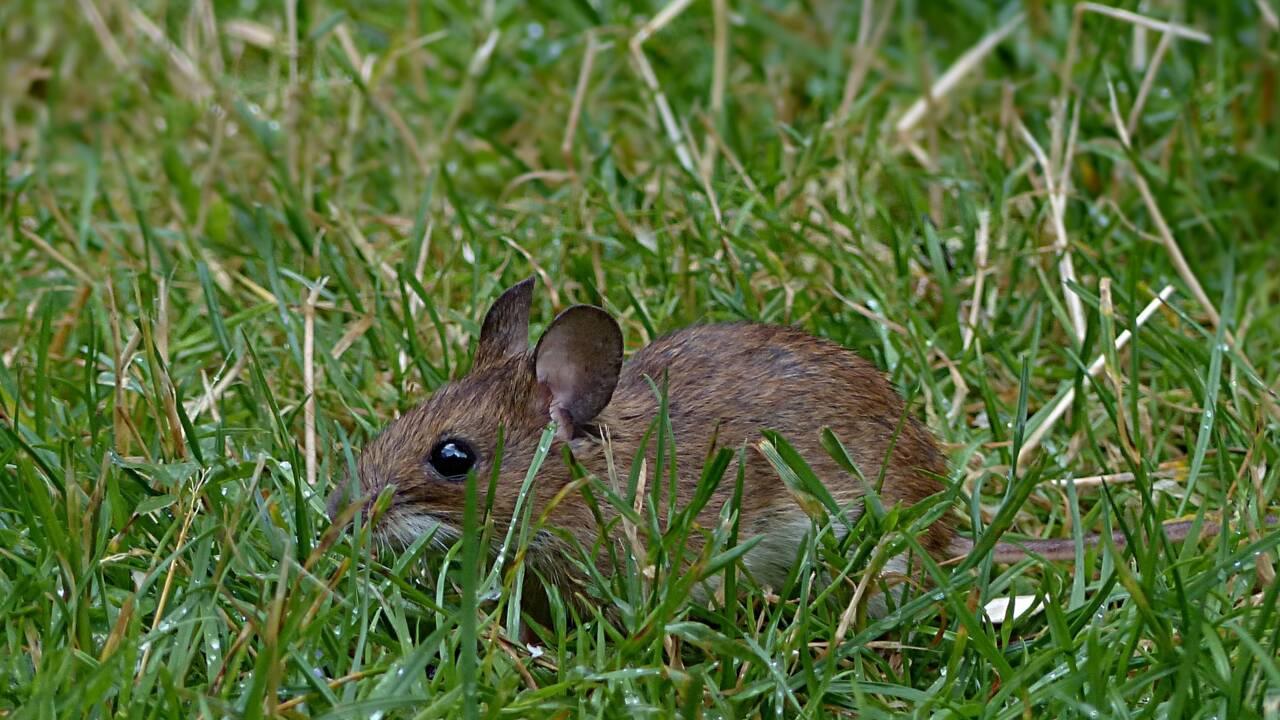 La souris a profité de l'homme pour conquérir le monde selon une étude