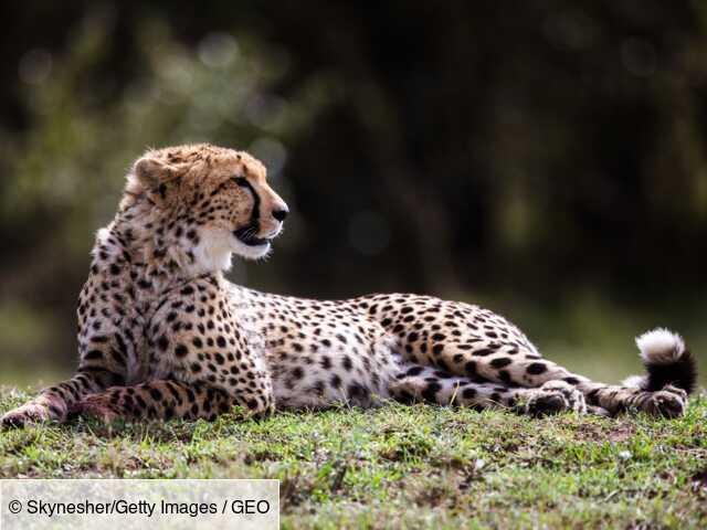 Le guépard saharien réapparaît pour la première fois depuis dix ans dans le sud de l'Algérie