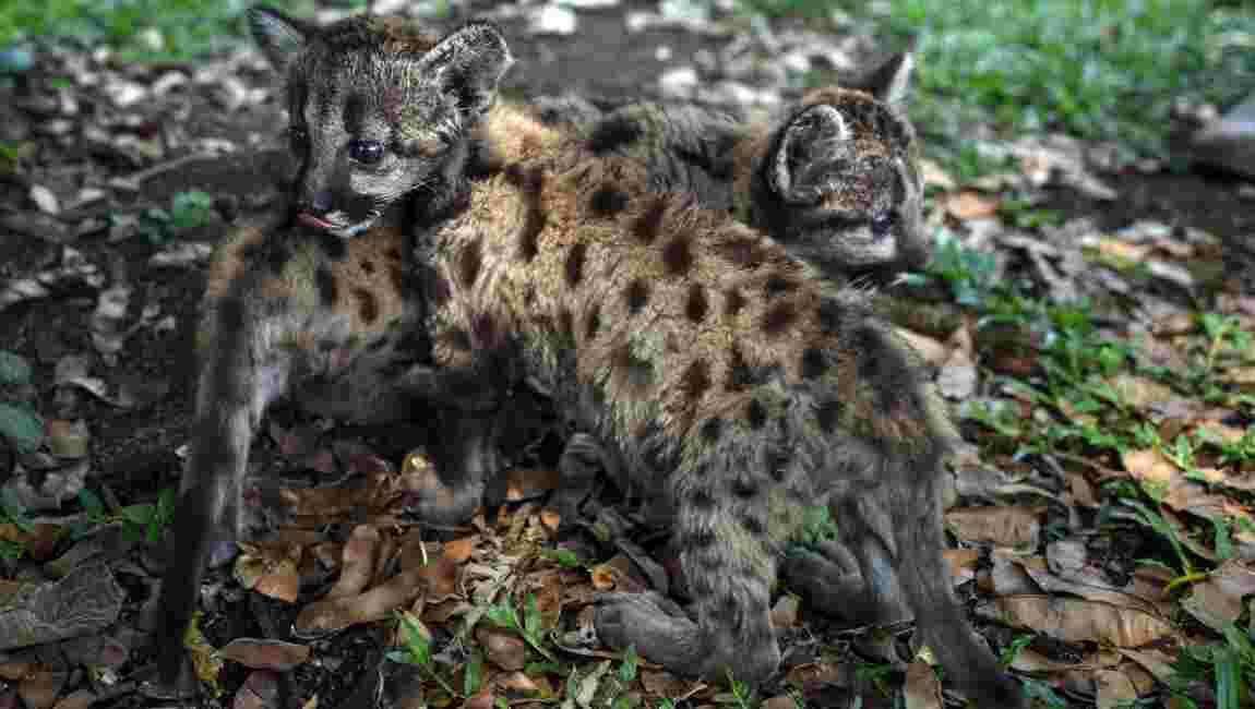 """""""Pandémie"""" et """"Quarantaine"""", deux pumas nés dans un zoo mexicain"""