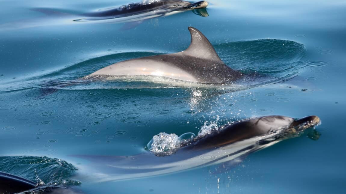 Prises accidentelles de dauphins: des scientifiques recommandent de nouvelles mesures