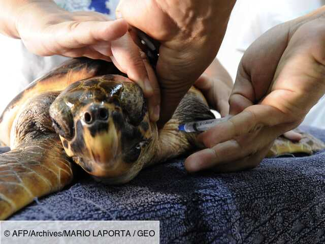 Une tortue marine vient pondre ses oeufs sur la plage publique de Fréjus
