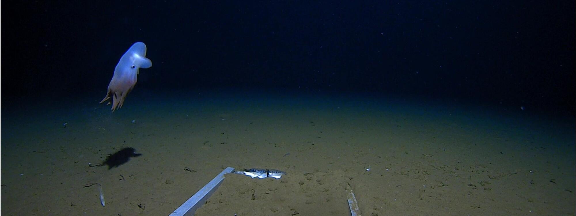 Un poulpe des abysses observé pour la première fois à près de 7000 mètres de profondeur