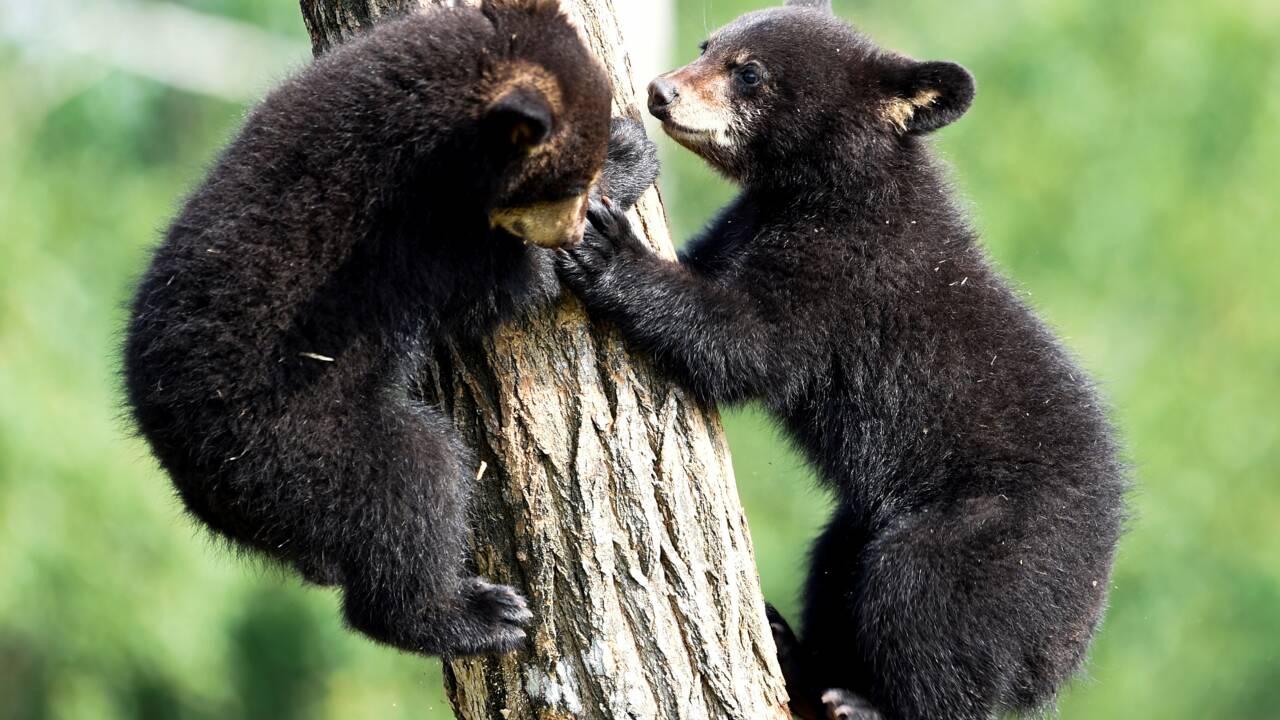 Moselle: première sortie en public pour deux oursonnes noires au parc Sainte-Croix